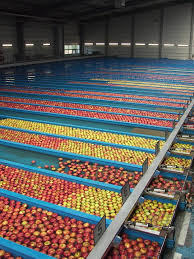 Sorted apples at a distribution center